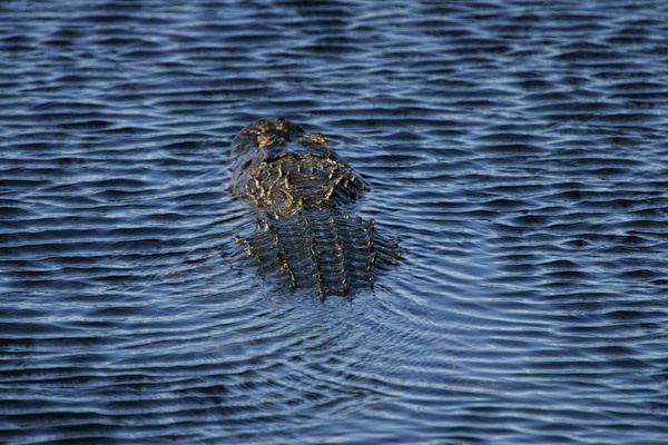 Alligator, Myakka River, Florida 2005